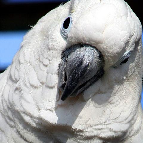 Mundo da Cacatua - Aves Exoticas